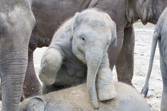 Two baby elephants playing Royalty Free Stock Images