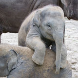 Two baby elephants playing Royalty Free Stock Photography