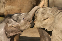 Two baby elephants playing trunk wrestling Royalty Free Stock Photography
