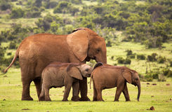 Two baby elephants resting with a female elephant Royalty Free Stock Images
