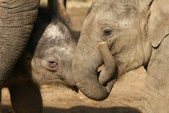Two baby elephants wrestling royalty free stock photo