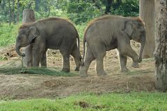 Two baby eliphants. In Chitwan National Park in Nepal Royalty Free Stock Photography