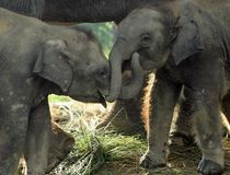 Two baby eliphants. In Chitwan National Park in Nepal Stock Images