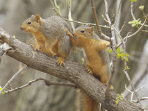 Two baby fox squirrels. Out on an adventure royalty free stock photography