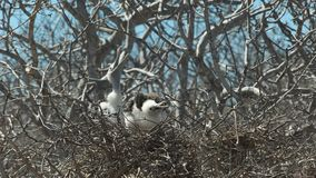 Two baby frigatebirds on a nest in the Galalagos Islands