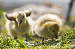 Two Baby Geese. Two fat little goslings stumbling over rough ground of grass and twigs as they search for food. The rudimentary wing stubs on the one baby stock photography