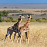 Two baby giraffe walk on the savannah. Masai Mara Game Reserve, Kenya stock photo