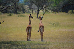 Two baby Giraffes on the plains in Africa. From behind. In a game reserve in Kenya Stock Image