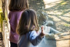 Two baby girls watching a tiger in a zoo. Two baby girls watching a siberian tiger through the glass of its enclosure royalty free stock images