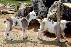 Two Baby Goats. At Cape Zampa in Okinawa Japan royalty free stock images