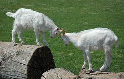 Two baby goats. In a mock fight royalty free stock photos