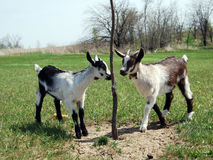 Two baby goats Stock Photos