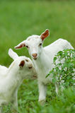 Two baby goats Royalty Free Stock Photos
