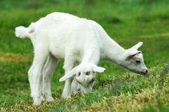 Two Baby Goats Royalty Free Stock Photo