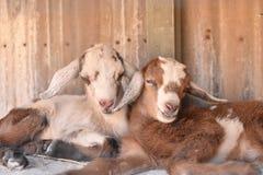Two baby goats cuddle. Two baby goats cuddle in their hutch royalty free stock photos