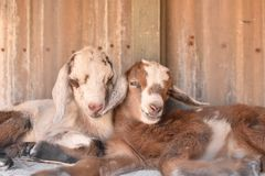 Two baby goats cuddle. Two baby goats cuddle in their hutch royalty free stock image