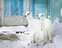 Two baby goats in the farm Stock Photo