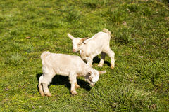 Two baby goats playing Stock Photos