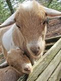 Two Baby Goats. In wooden crate stock photos