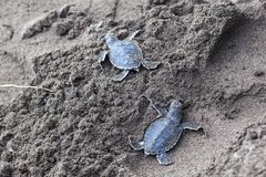 Two Baby green turtles on the beach in Costa Rica. Two baby green turtles Chelonia mydas in the nest and ready to crawl to the ocean in Costa Rica royalty free stock image