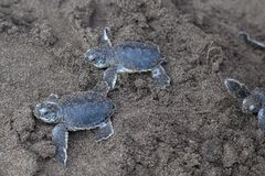 Two Baby green turtles on the beach in Costa Rica. Two baby green turtle Chelonia mydas crawling to the ocean on the beach in Costa Rica royalty free stock photo