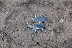 Two Baby green turtles on the beach in Costa Rica. Two baby green turtle Chelonia mydas crawling to the ocean on the beach in Costa Rica royalty free stock image