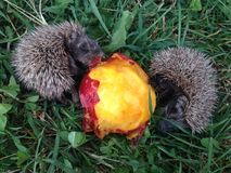 Two baby hedgehogs Stock Image