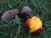 Two baby hedgehogs Royalty Free Stock Photos
