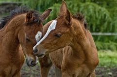 Two baby horses nuzzling each other royalty free stock photography
