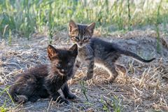 Two baby kittens Stock Image
