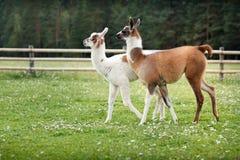 Two baby lamas on a farm yard Stock Photos