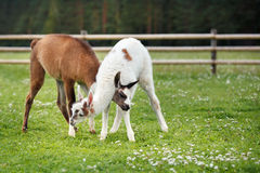Two baby lamas playing together Stock Photos
