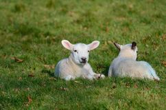 Two baby lambs in field Stock Images