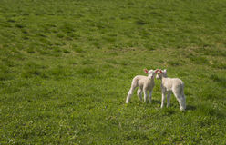 Two baby lambs Royalty Free Stock Photography