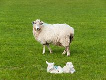 Two baby lambs lie on green meadow with mother sheep Royalty Free Stock Photo