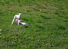 Two baby lambs Stock Photos