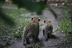 Two baby leopards. From the back Royalty Free Stock Images