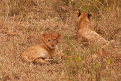 Two baby lion. In the Masai Mara Nation Park, Kenya , East Africa 2011 Royalty Free Stock Photography