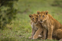 Two baby lions are looking to camera curiously and shy. Royalty Free Stock Images