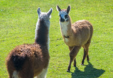 Two baby llamas facing each other Royalty Free Stock Images