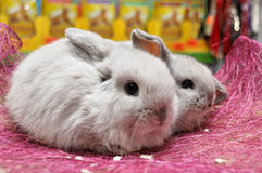Two baby lop-eared rabbit breed sheep Royalty Free Stock Image