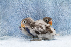 Two baby lovebirds on blue cloth background Royalty Free Stock Photo