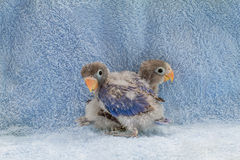 Two baby lovebirds on cloth background. Two baby lovebirds on blue cloth background Stock Photography