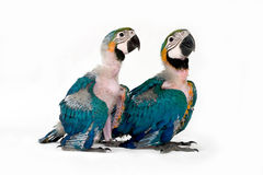 Two baby macaws Stock Photo