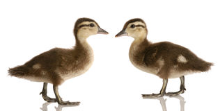 Two baby mallard ducks Royalty Free Stock Photography