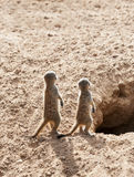 Two Baby Meerkats. Close up of Two Baby Meerkats next to a hole Royalty Free Stock Image