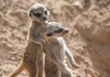 Two Baby Meerkats. Close up of Two Baby Meerkats walking Stock Image