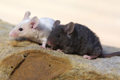Two baby mice on rock. Two baby Rex mice perched on a rock Stock Photo