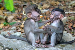Two baby monkeys. Sitting side by side Royalty Free Stock Image