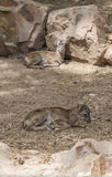 Two baby moufflon resting on ground Royalty Free Stock Photography